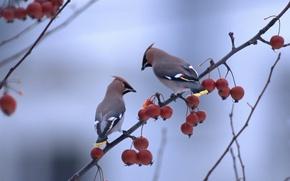 Картинка ягоды, макро, птицы, птица, ветви, свиристель, ветки