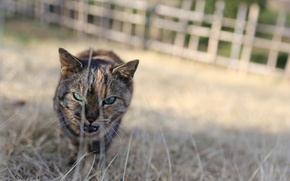 Картинка глаза, кот, взгляд, кошак, котяра, злюка