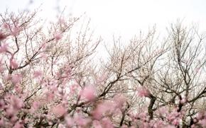 Обои деревья, ветки, сакура, цветы, розовый