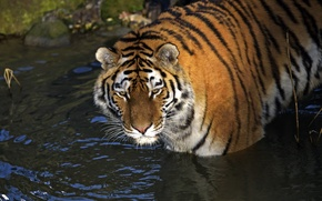 Картинка кошка, взгляд, вода, тигр, амурский