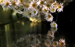 Картинка цветы, ромашки, отрожение
