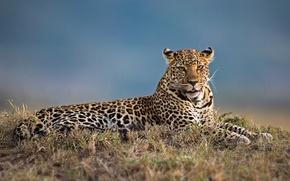 Картинка леопард, дикая кошка, красава