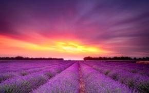 Картинка поле, закат, цветы, лаванда
