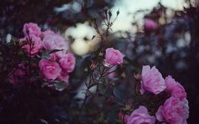 Картинка цветы, розы, лепестки, розовые