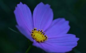 Картинка цветок, макро, синий, фон, темный, лепестки, Космея