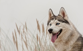 Картинка Собака, хаски, сибирский хаски, голубые глаза, взгляд