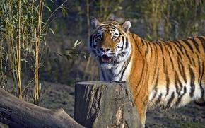 Картинка кошка, тигр, пень, бревно, амурский