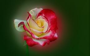 Картинка макро, природа, роза, лепестки, стебель