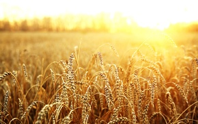 Картинка пшеница, поле, солнце, макро