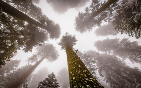 Картинка United States, Fog, Forest, Trees, sequoia, Sierra Nevada, rainforest, Sequoia National Park