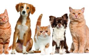 Картинка домашние животные, собаки, кошки