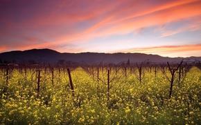 Обои виноградник, небо, поле, облака