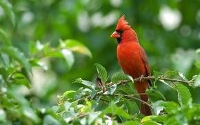 Картинка животные, красный, кардиналы
