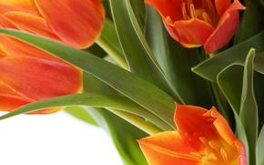 Картинка цветы, тюльпаны