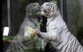 Картинка взгляд, стекло, тигр, отражение