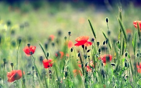 Обои маки, трава, поле, луг, природа