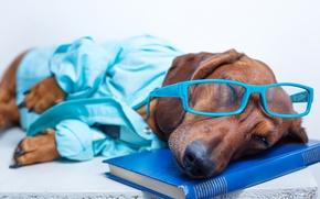Картинка юмор, очки, спит, лежит, книга, такса, рубашка, отдыхает