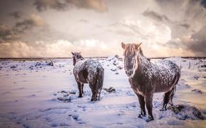 Картинка зима, поле, животные, снег, природа, кони, лошади, Исландия