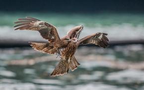 Картинка птицы, хищники, в полете, ссора
