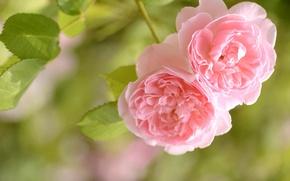 Картинка нежность, макро, розы