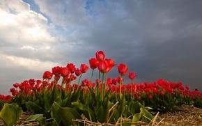 Обои тюльпаны, поле, небо, природа