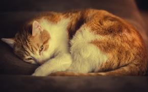 Картинка кошка, бело-рыжий, отдых, кот