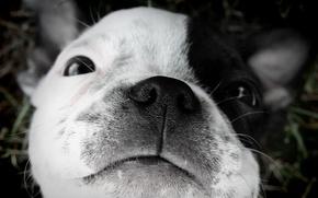 Картинка щенок, сон., Бостонский терьер