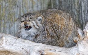 Картинка кошка, пушистый, клыки, злой, манул, ©Tambako The Jaguar