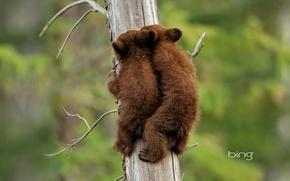 Картинка природа, дерево, ситуация, медвежата, canada, alberta, american black bear, cubs, jasper national park