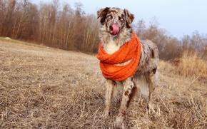 Картинка язык, лес, осень, аусси, небо, поле, шарф, солома, австралийская овчарка, позирует, собака