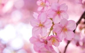 Картинка цветы, ветки, дерево, лепестки, Сакура, размытость, розовые