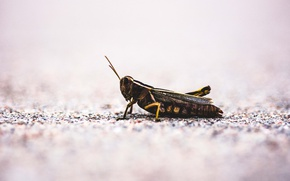Картинка insect, ground, grasshopper