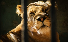 Картинка животные, клетка, красиво, львы, львица, зоопарк, прайд