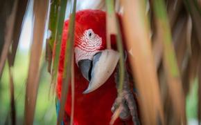 Картинка взгляд, листья, красный, пальма, перья, клюв, попугай, разноцветный, ара