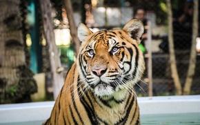 Обои полоски, тигр, хищник