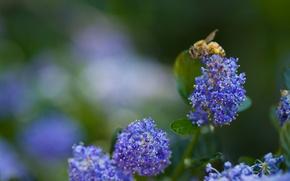 Картинка зелень, цветок, макро, синий, природа, пчела, голубой, растения, размытость, насекомое, цветки