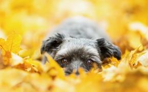 Картинка осень, взгляд, собака