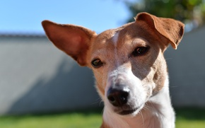 Картинка собака, взгляд, морда, пес