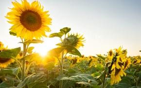 Картинка солнце, подсолнухи, природа, растения