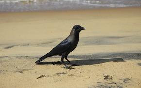 Картинка море, животные, фон, птица, обои, прогулка, ворона