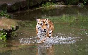 Картинка кошка, вода, тигр, купание, водоём, амурский