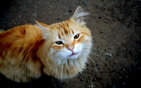 Картинка кот, рыжий, тёмный