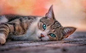 Картинка кошка, глаза, кот, фон, обработка, размытие, лежит, коврик, глядит, усатость, полосатость, зелёно-голубые