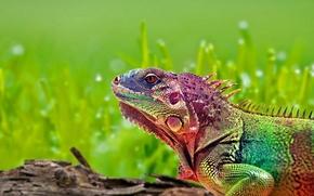 Обои Rainbow, ящерица, игуана