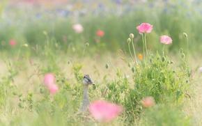 Картинка поле, трава, цветы, маки, розовые, утка
