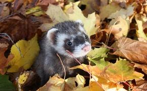 Картинка осень, листья, мордочка, фретка, Хорёк