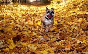 Картинка happy, dog, fall, running