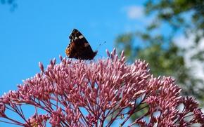 Картинка цветок, трава, цветы, widescreen, обои, бабочка, wallpaper, широкоформатные, background, обои на рабочий стол, полноэкранные, HD …