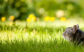 Обои трава, кот, лужайка