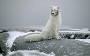 Картинка снег, камни, сидит, песец, полярная лисица